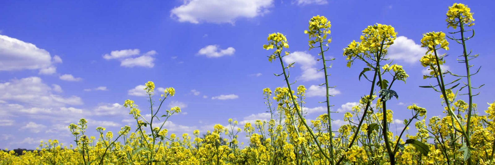 A Mustard Crop in Bloom